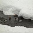 冬の鴨たち