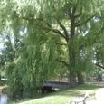 中島公園の柳