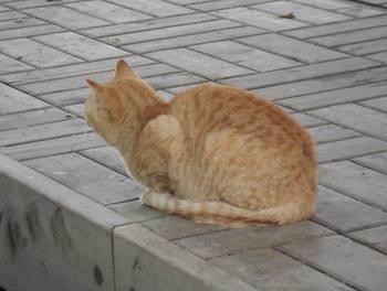 Matsusaka_cat