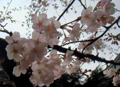 Sakura_shiba