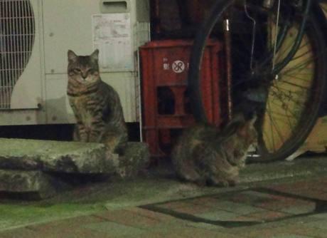 Shiba_cat