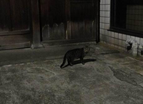 Shiba_cat1