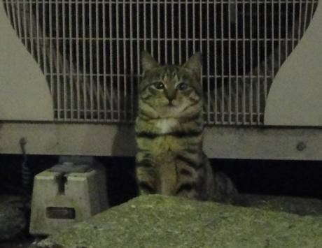 Shiba_cat2_2