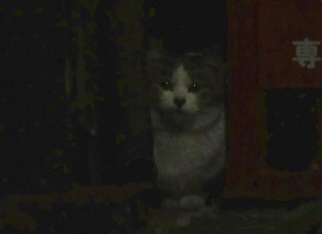 Shiba_cat4