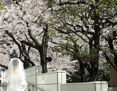 Sakurazaka2