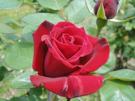 Rose_shiba1_2