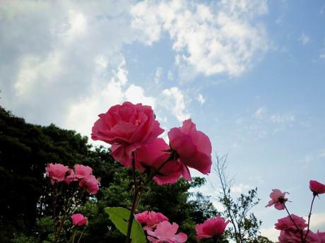 Rose_shiba12