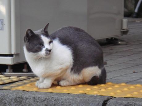 Enoshima_cat