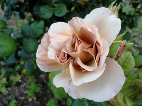 Shiba_rose