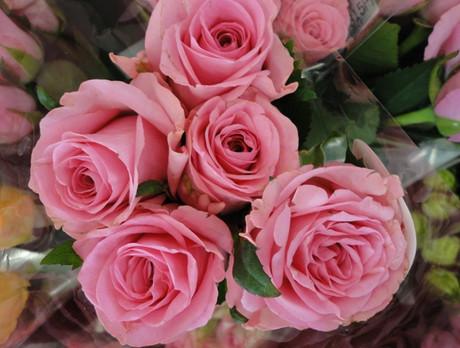 Rose_pink_2