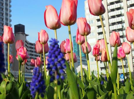 Tulip_d