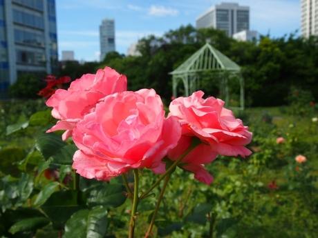 Rose-01