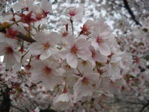 Sakura_osaka_castel